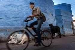 India - urban cow