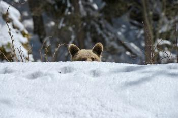 Young bear in the Polish Tatra Mountains